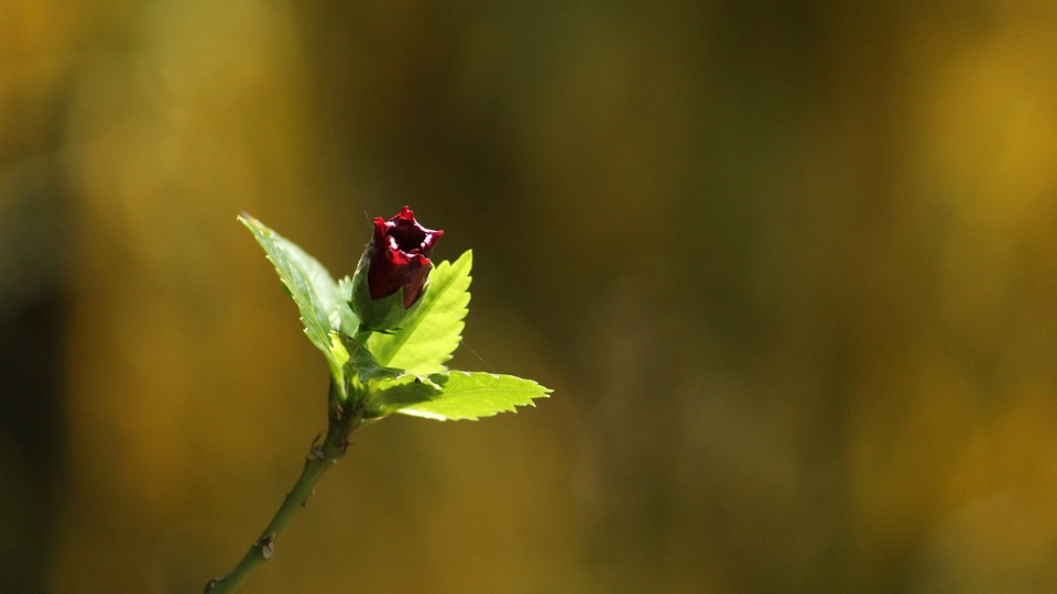 Kerala, India, Flower, Flora, Red, Hibiscus, Green