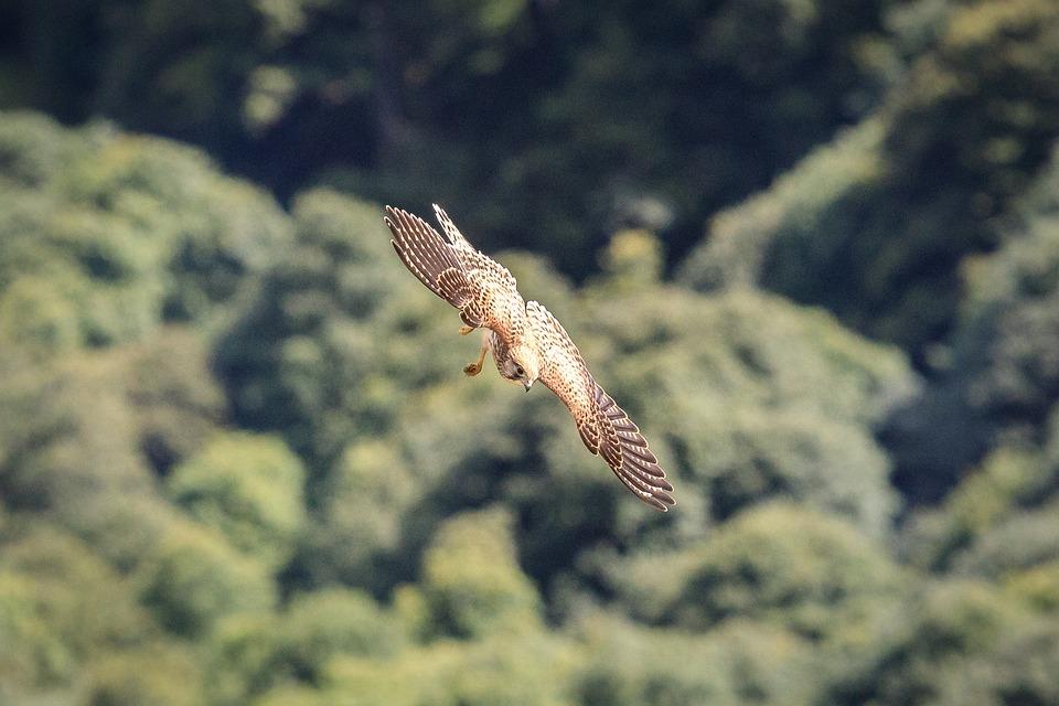 Kestrel, Bird Of Prey, Raptor, Bird, Falcon, Vosges
