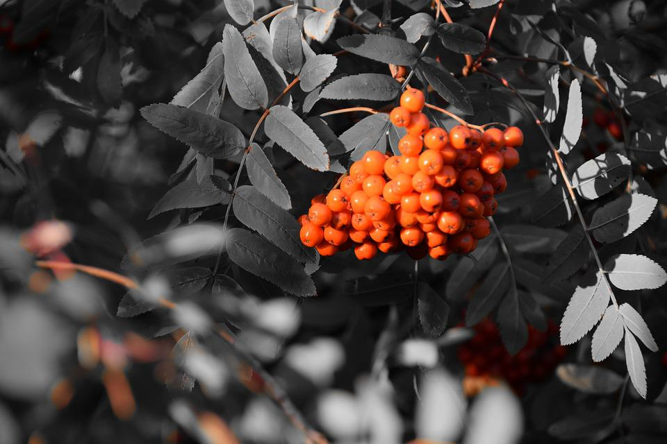 Rowanberries, Berries, Bush, Fruits, Orange, Key Color