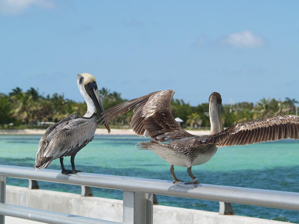 Brown Pelicans, Key West, White Street Fishing Peer