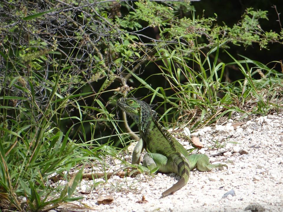 Iguana, Lizard, Reptile, Key West