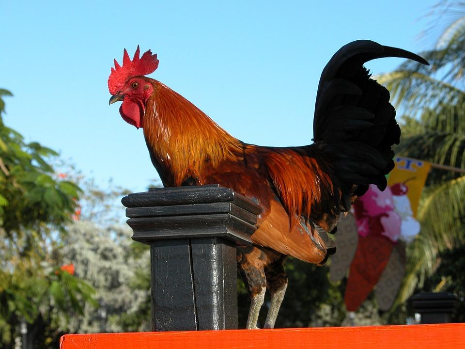 Rooster, Bird, Standing, Fowl, Farm Animal, Key West