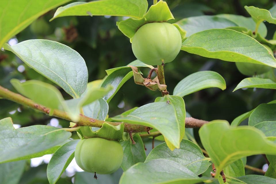 Khaki, Unripe Persimmons, Autumn Fruits, Plant, Fruit