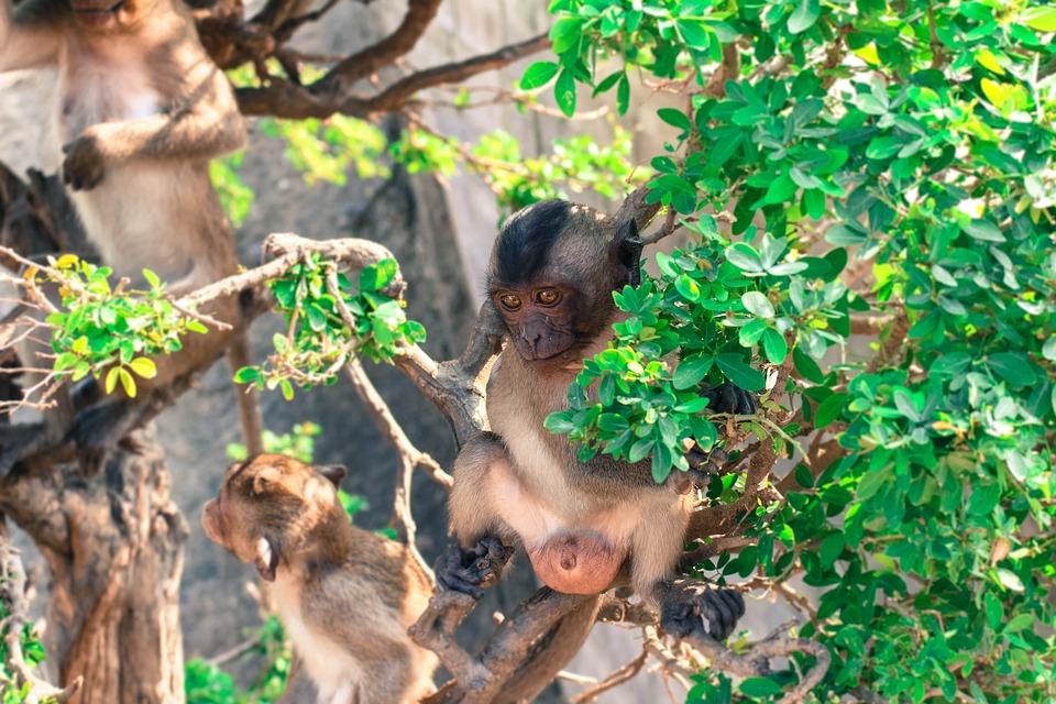 Monkey, Khaotakiab, Animal