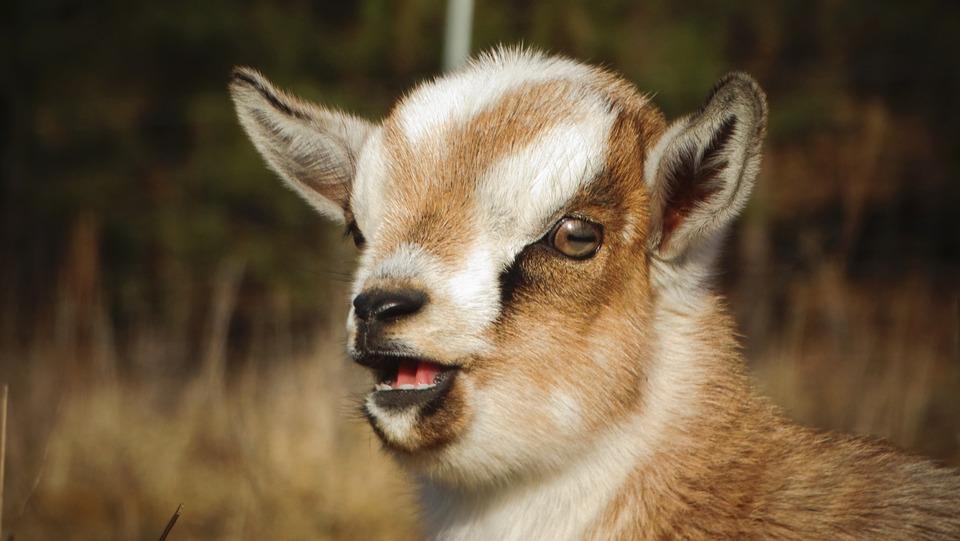 Goat, Kid, Head, Livestock, Animal, Mammal