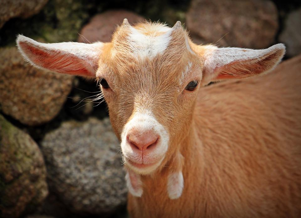Goat, Animal, Horns, Mammals, Creature, Kid, Nature