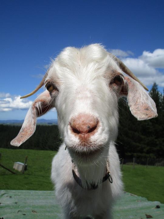 Goat, Stare, Horns, Kid, White, Sky, Nature, Animal