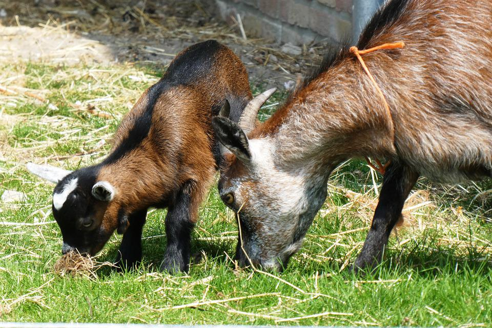 Young Goat, Playful, Kid, Frisky, Young, Mother-goat