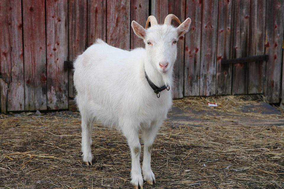 Goat, Kid, Domestic Animal, Countryside, Agriculture