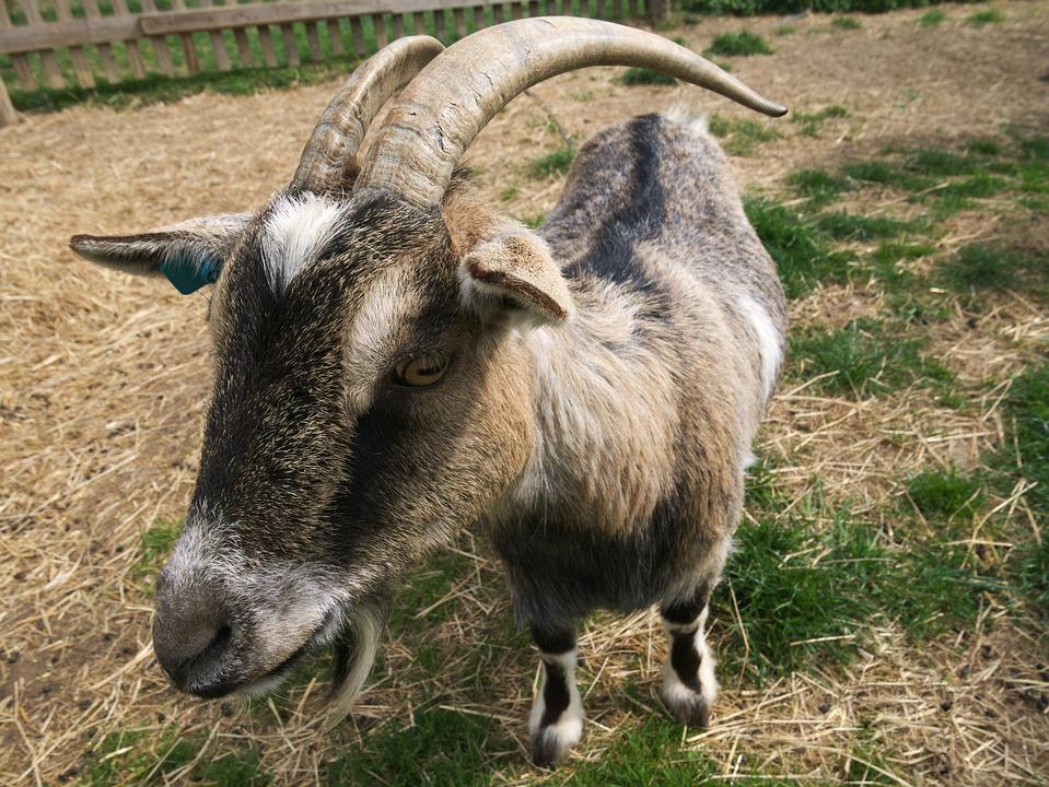 Goat, Small Animal, Kid, Pet, Livestock, Horns, Farm