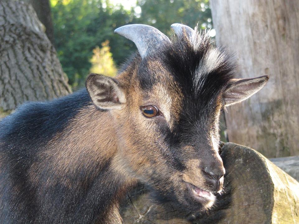 Goat, Kid, Nature, Cute, Domestic Goat, Farm
