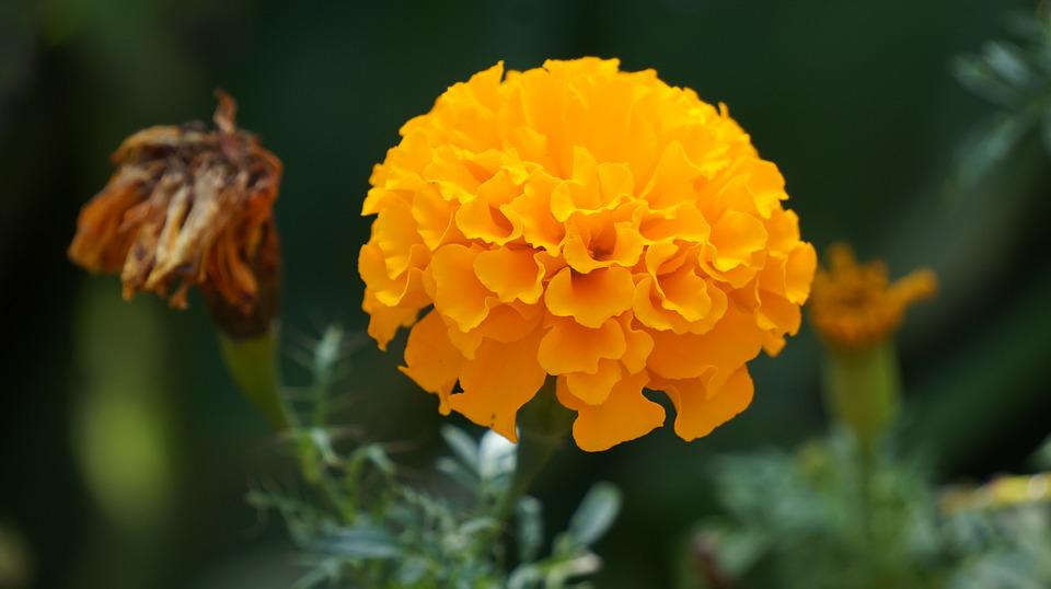 Free photo kind of wood yellow flowers flowers marigold flower max marigold flower flowers yellow flowers kind of wood mightylinksfo
