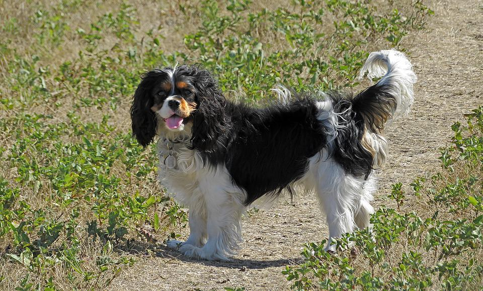 Dog, King Charles Cavalier, Spaniel, Canine, Puppy