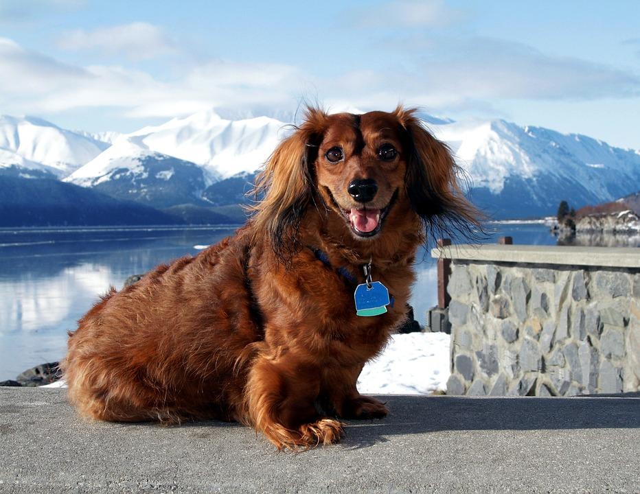 Dog, Dachshund, King, Alaska, Animal, Pet, Cute, Canine