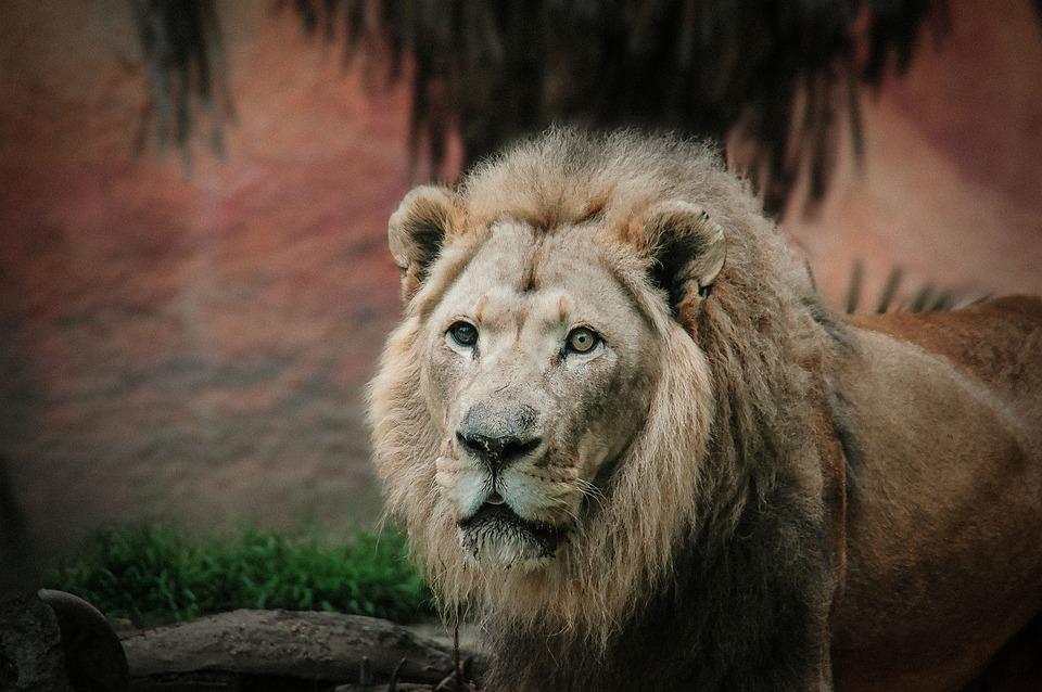 Leo, Lion, King, Wildlife, Feline, Big Cat, Strength