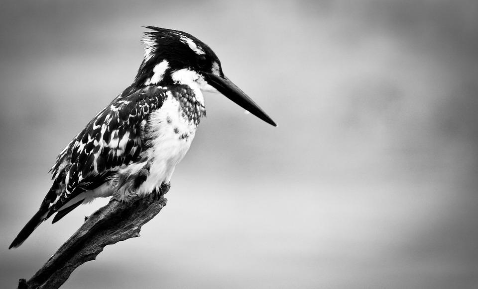 Kingfisher, Bird, Nature, Animal