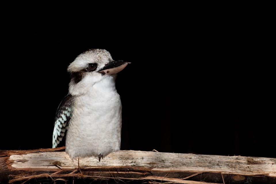 Kookaburra, Bird, Perched, Kingfisher, Feathers