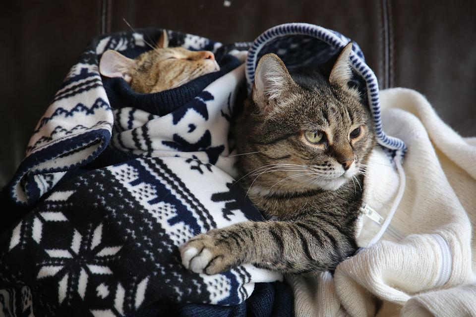 Cats, Kisa, Cat, Pet, Animals, Snout, Home, Grey Cat