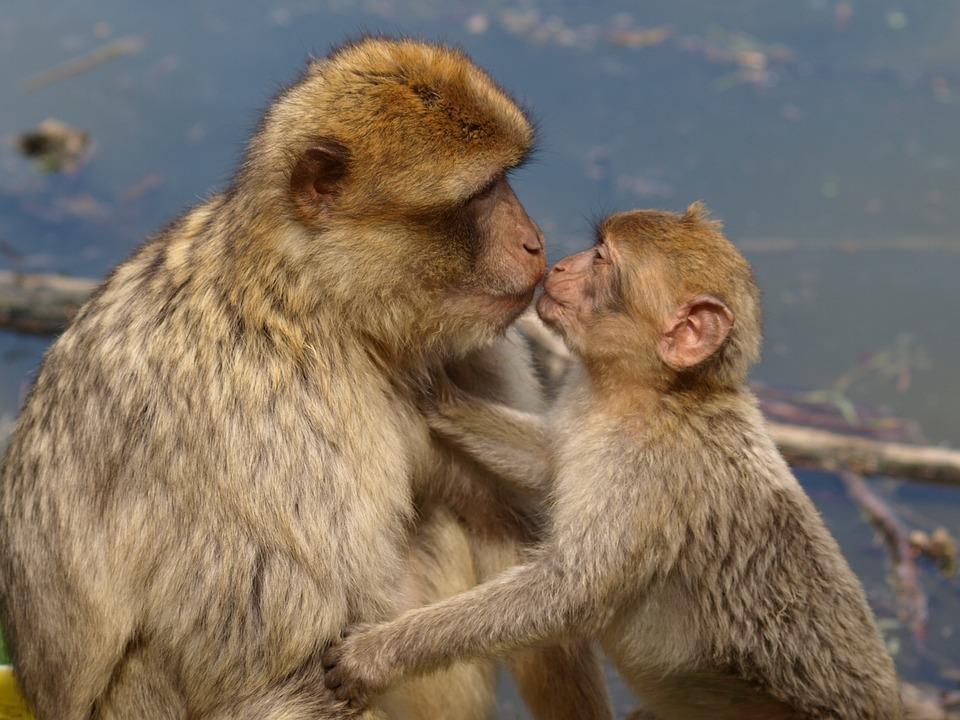 Berber Monkeys, Barbary Ape, Kiss, Mother And Child