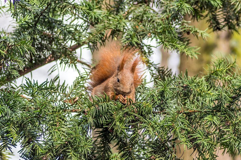 The Squirrel, Rodent, Tree, Coniferous, Ruda, Kita