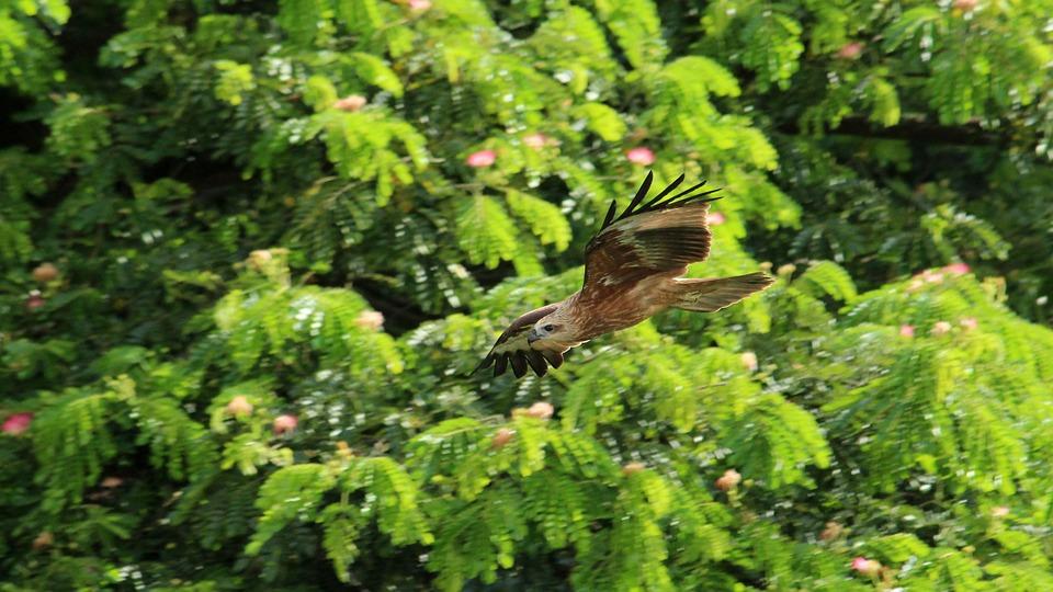 Kite, Black, Brown, Flight, Freedom, Kerala, Bird