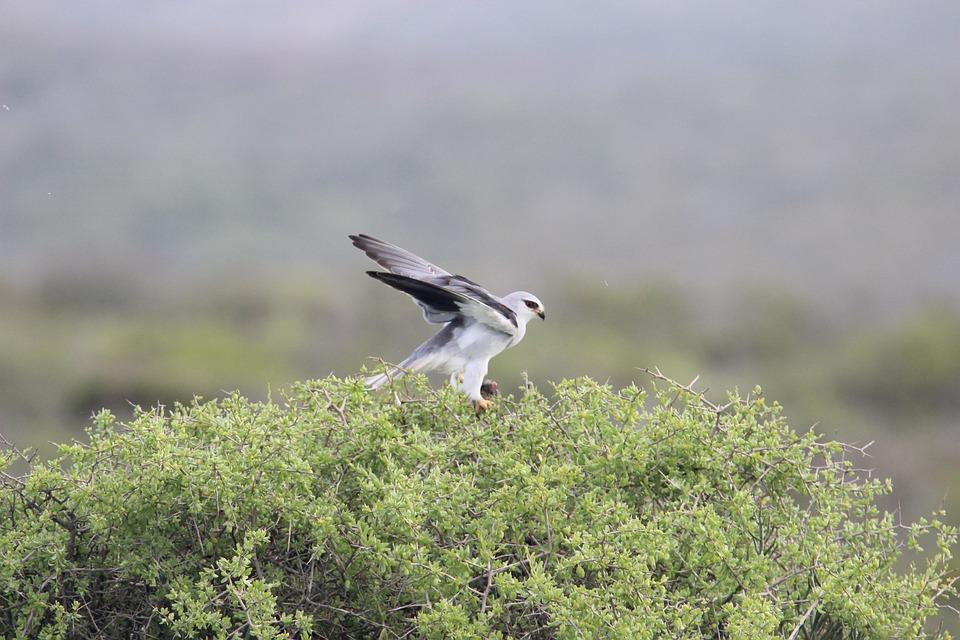 Bird, Raptor, Kite, Nature, Wildlife