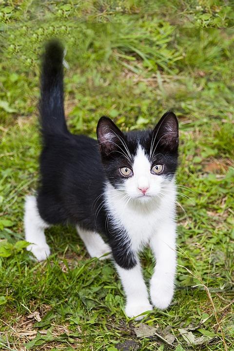 Kitten, Animal, Fur, Little Kitty, Black And White