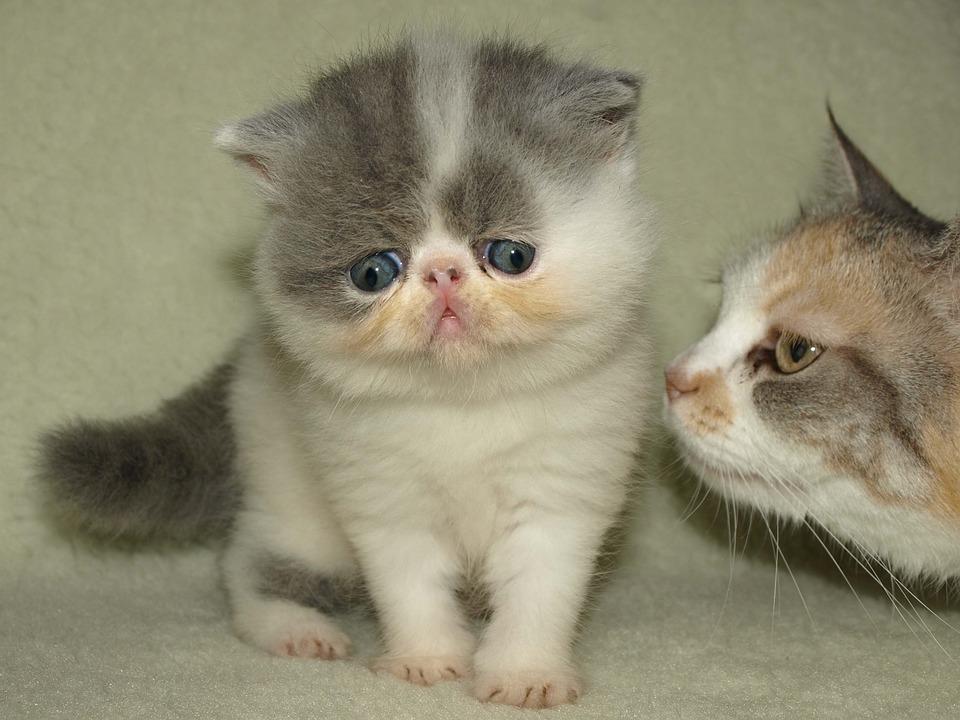 Animal, Cat, Puppy, Kitten, Pet