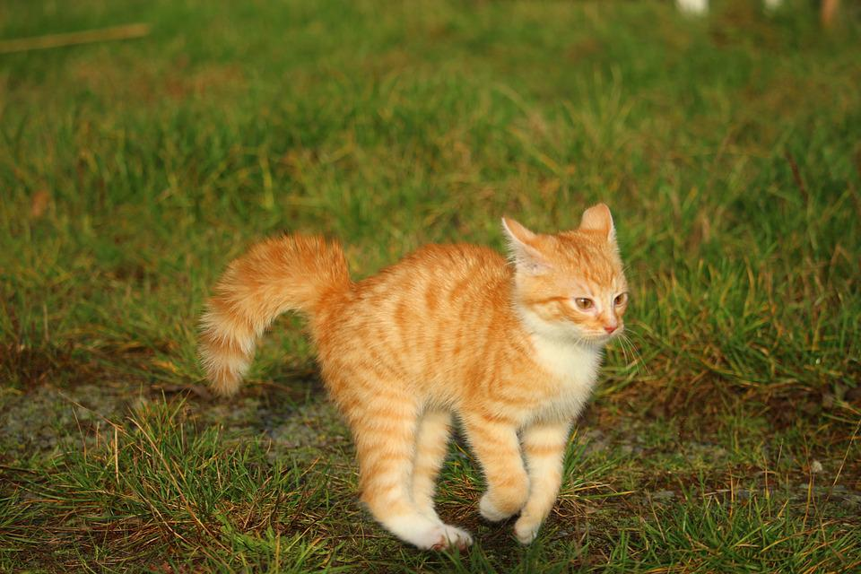 Kitten, Red Mackerel Tabby, Cat Baby, Cat, Autumn