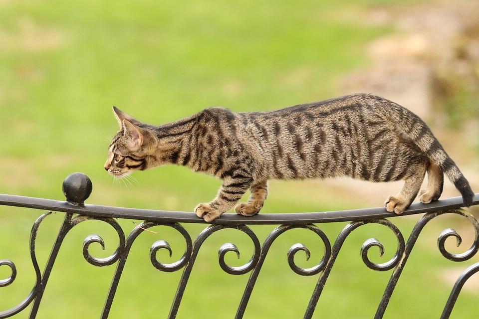 Bengal, Kitten, Cat