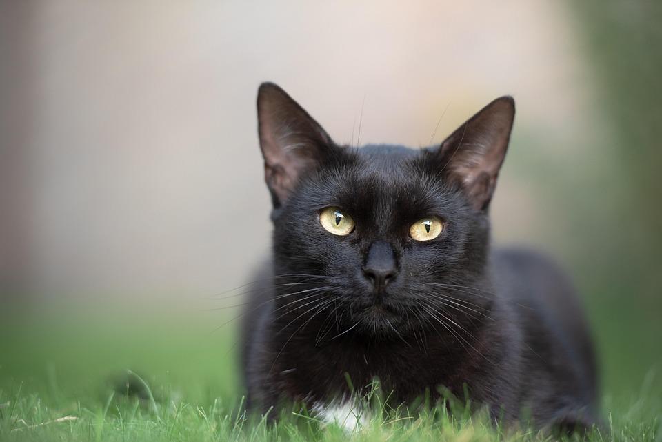Black Cat, Kitten, Cat, Black, Feline, Pet