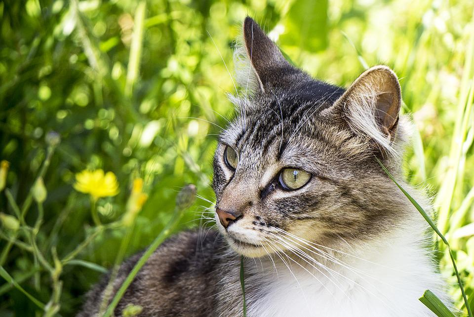 Cat, Nature, Animals, Pet, Feline, Kitten, Whiskers