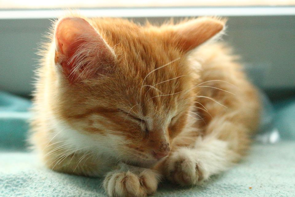 Kitten, Cat Baby, Cat, Mackerel