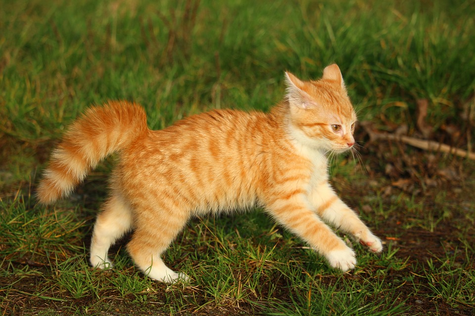 Kitten, Red Mackerel Tabby, Cat Baby, Cat, Autumn