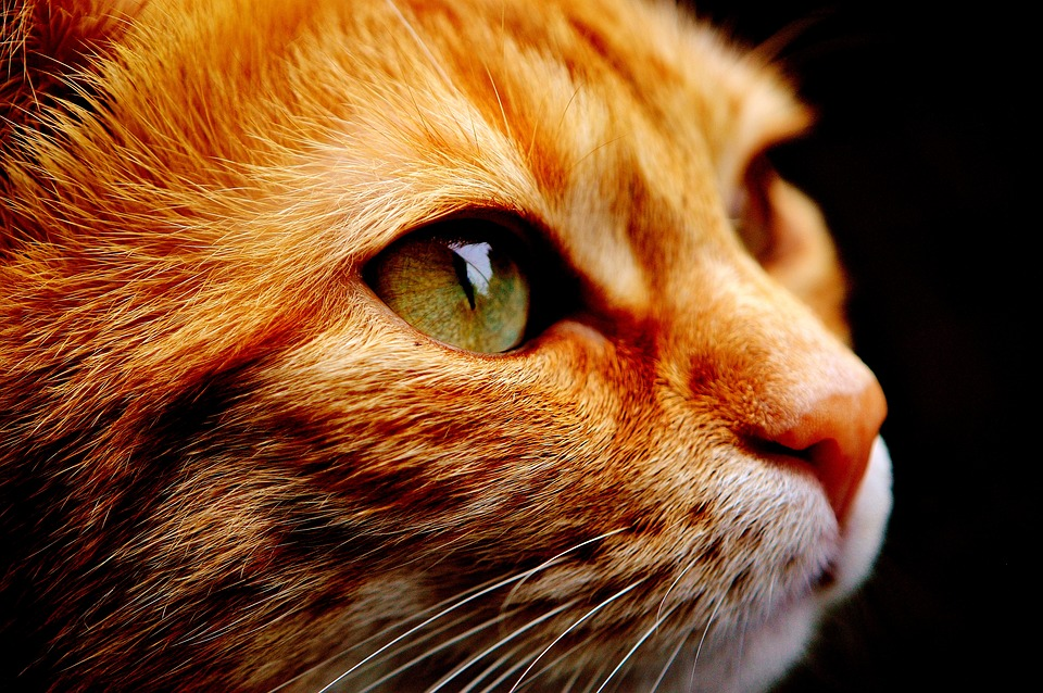 Cat, Domestic Cat, Mackerel, Pet, Close Up, Kitten