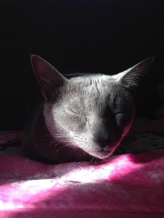 Cat, Kitten, Kot Russian Blue