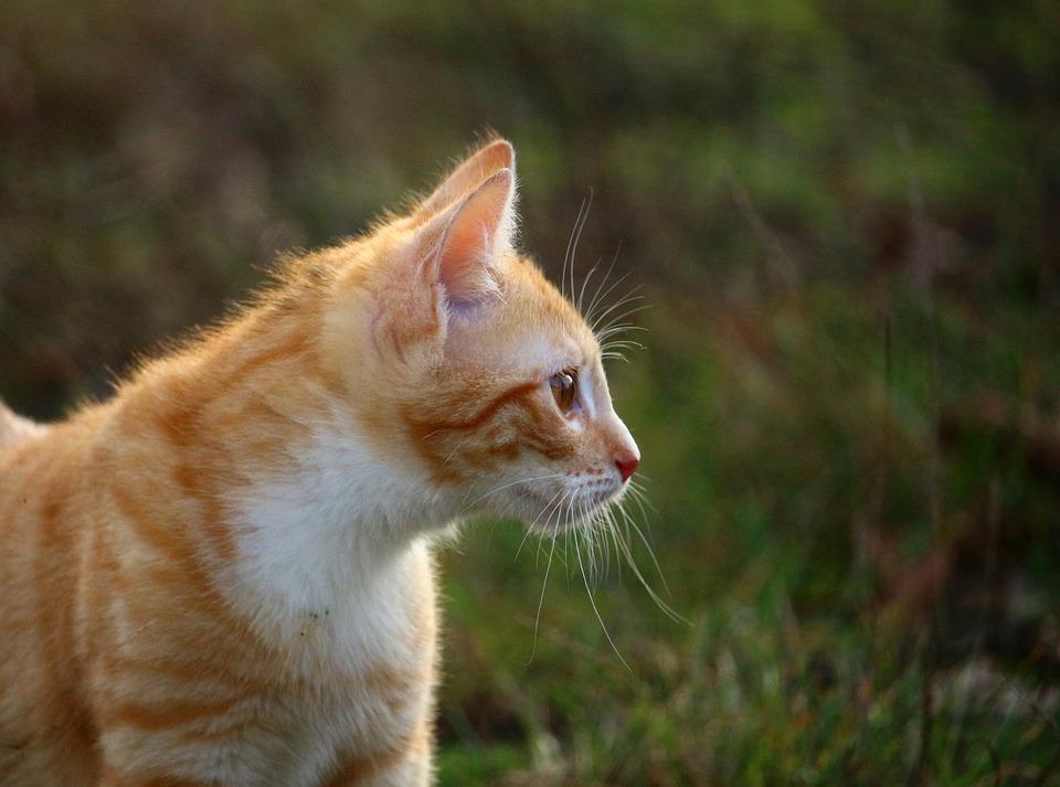 Cat, Kitten, Red Mackerel Tabby, Red Cat, Cat Portrait