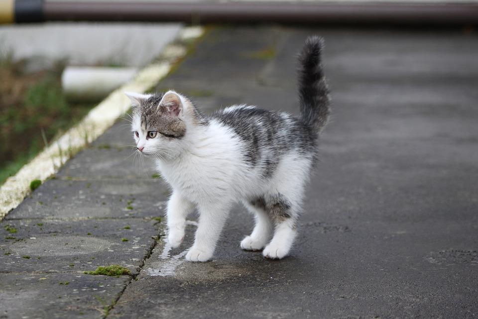 Cat, Kitten, Small Cat, Black And White Cat, Tomcat