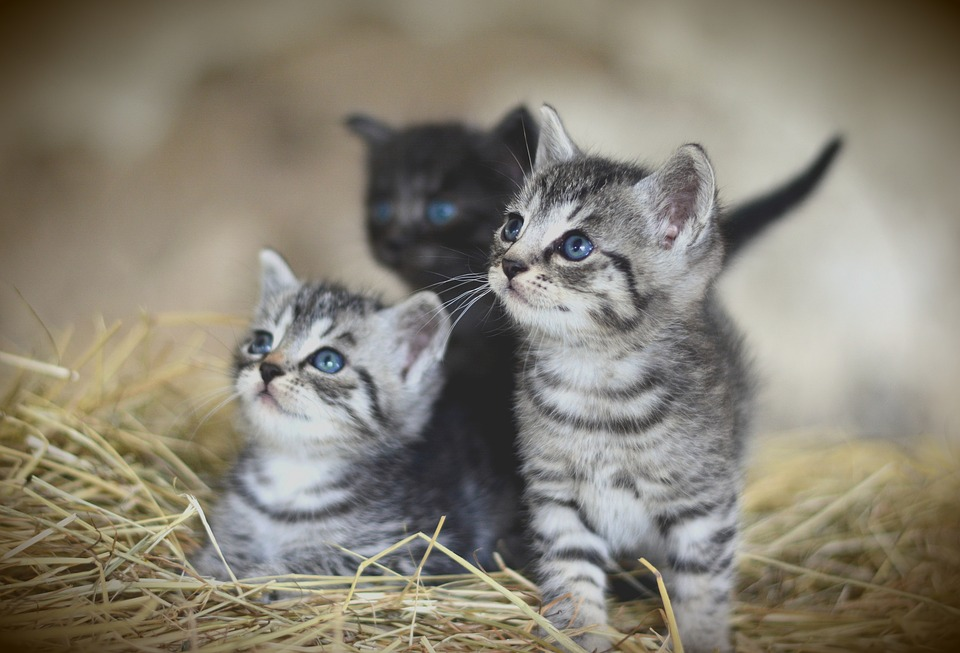Cat, Young Animal, Kitten, Mackerel, Domestic Cat, Pet