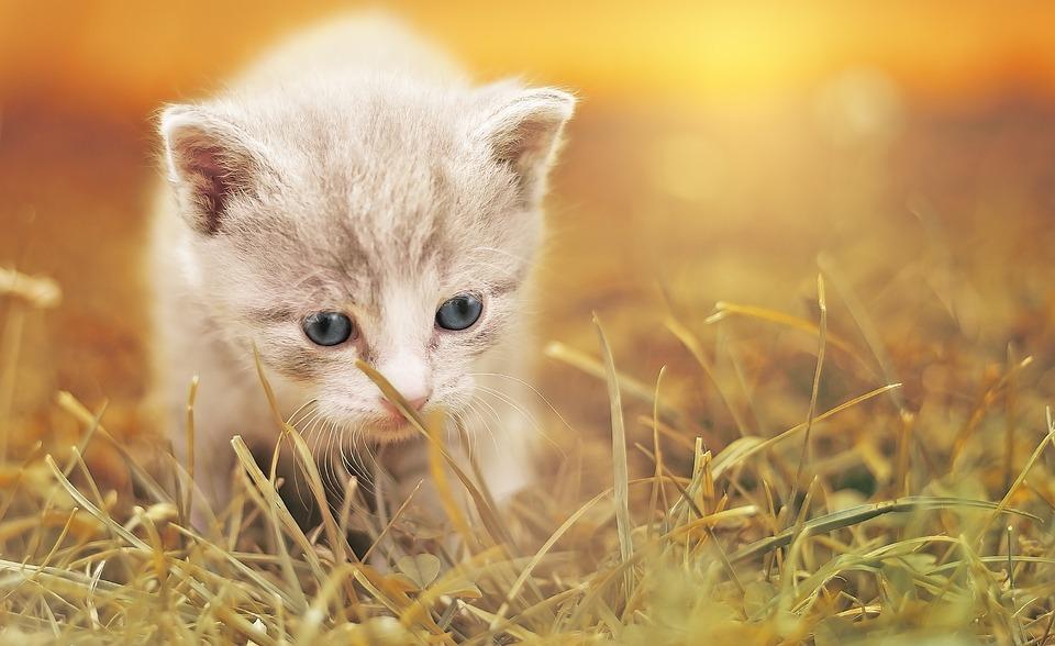 Free Photo Kitten Charming Cat Baby Cat Cute Animal Pet Max Pixel