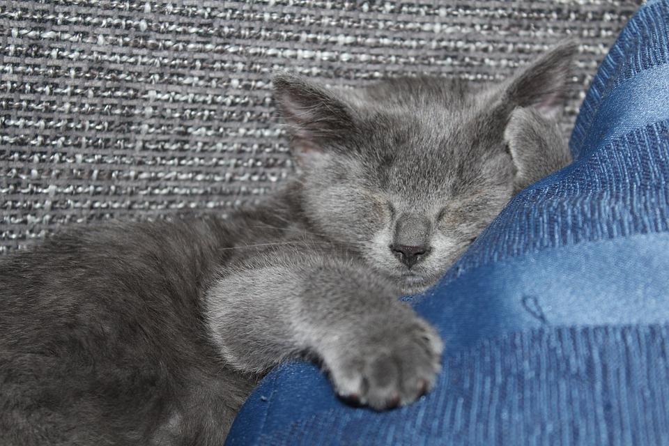 Cat, Kitten, Sleep, Sweet, Young, Cute, Grey, Mieze