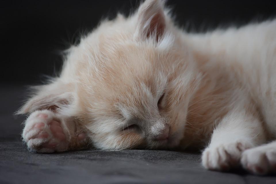 Kitten, Cat, Pet, Cute, Animal, Little, Charming, Furry