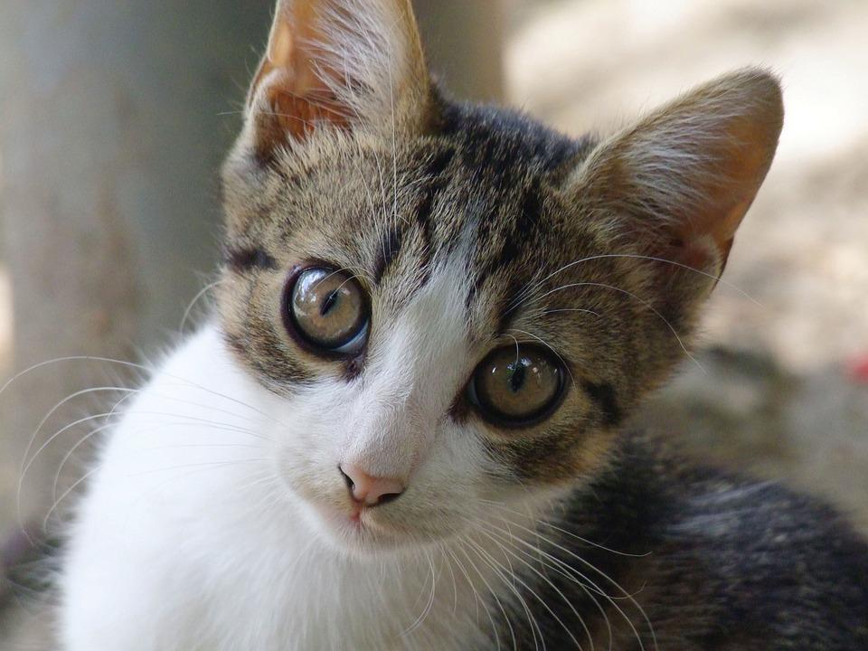Kitten, Cat, Cute, Pet, Domestic Cat, Portrait, Feline