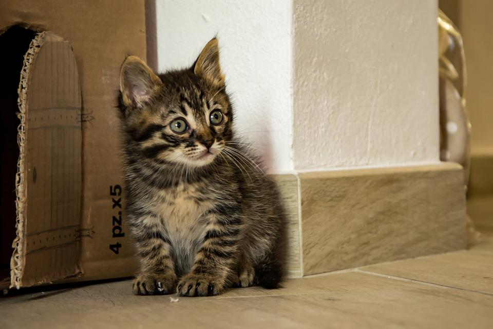 Cat, Kitten, Animal, Cats, Feline, Fur, Adorable