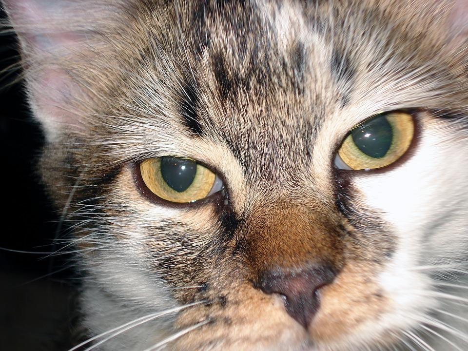Cat, Cat Close Up, Pet, Kitten, Feline, Eyes, Kitty
