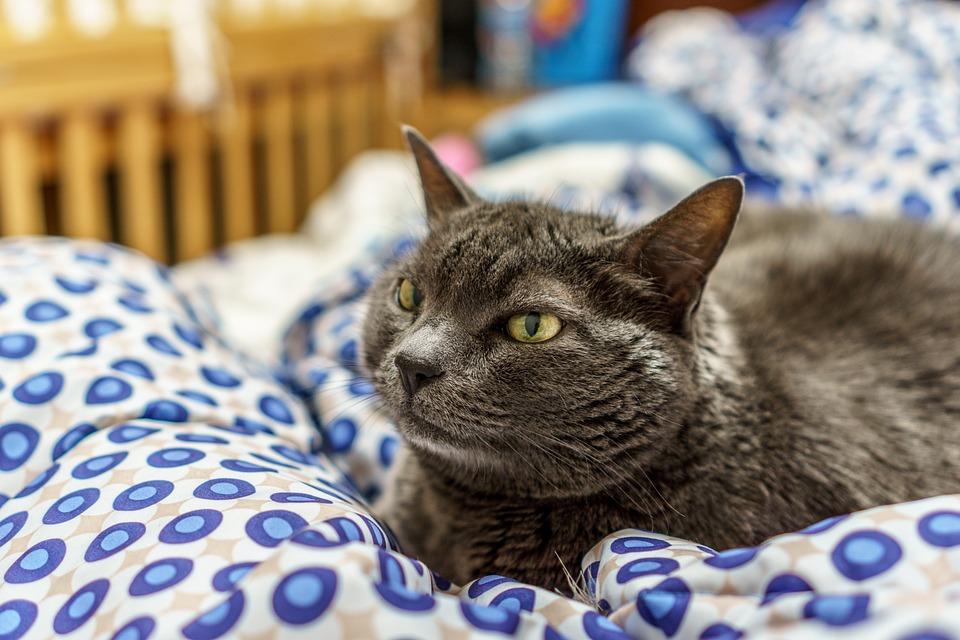 Cat, Feline, Pet, Furry, Domestic, Kitten, Cute