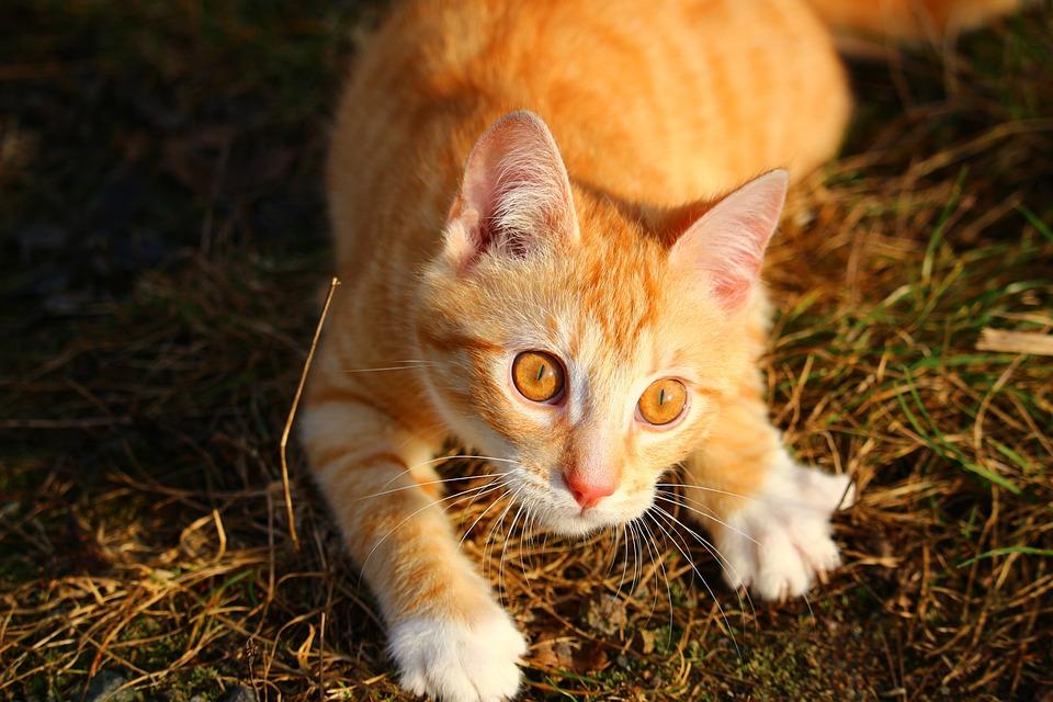 Cat, Kitten, Red Mackerel Tabby, Red Cat, Mieze