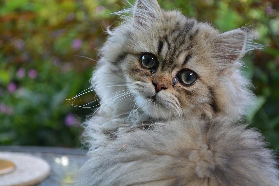 Cat, Persian, Kitten