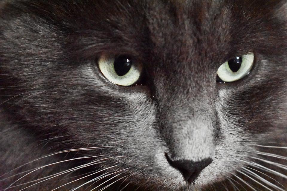 Cat, Animal, Pet, Portrait, Kitten, Nature, Predator