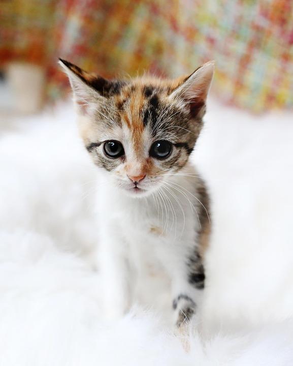 Kitten, Cute, Cat, Animal, Fur, Pet, Domestic, Staring